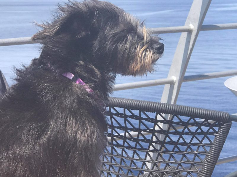 Kiki loves travelling - she looks at home on the ferry!